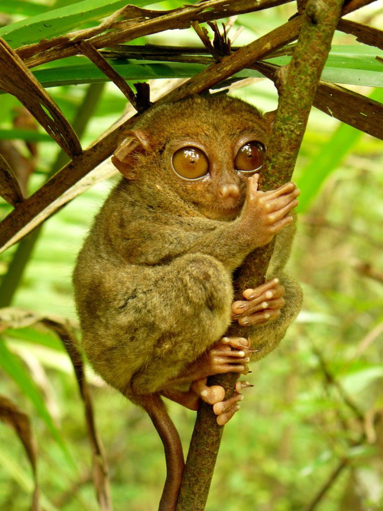 Philippine Tarsier (Carlito syrichta) hugging a mossy branch. Photo taken at the Tarsier Sanctuary, Corella, Bohol