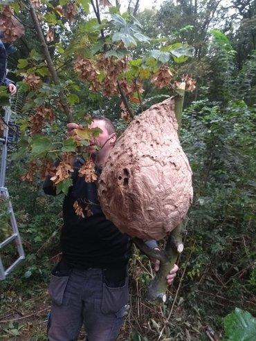 Nest van de Aziatische hoornaar in de gemeente Spijkenisse (na ruiming)