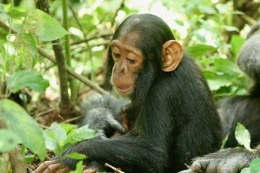 A two-year-old chimp named Betty, who succumbed to the virus