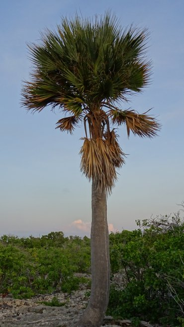 The critically endangered Bonaire palm