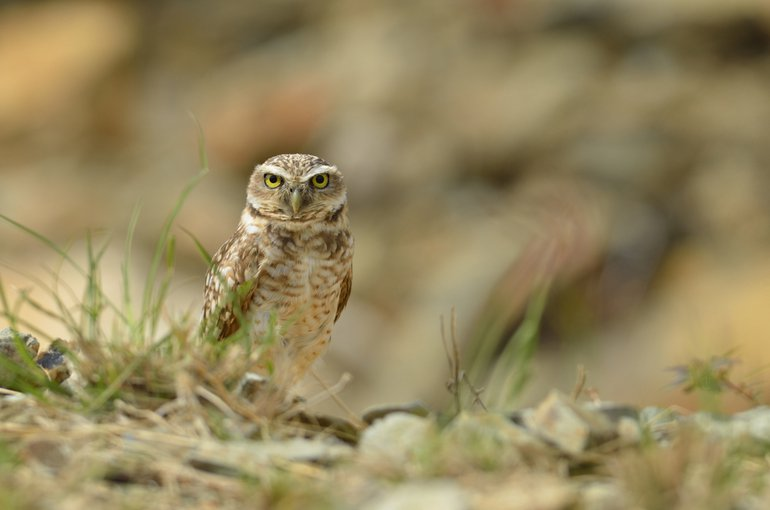 The Aruban burrowing owl (Athene cunicularia arubensis), locally known as Shoco, is endemic to the island and an important part of the local culture