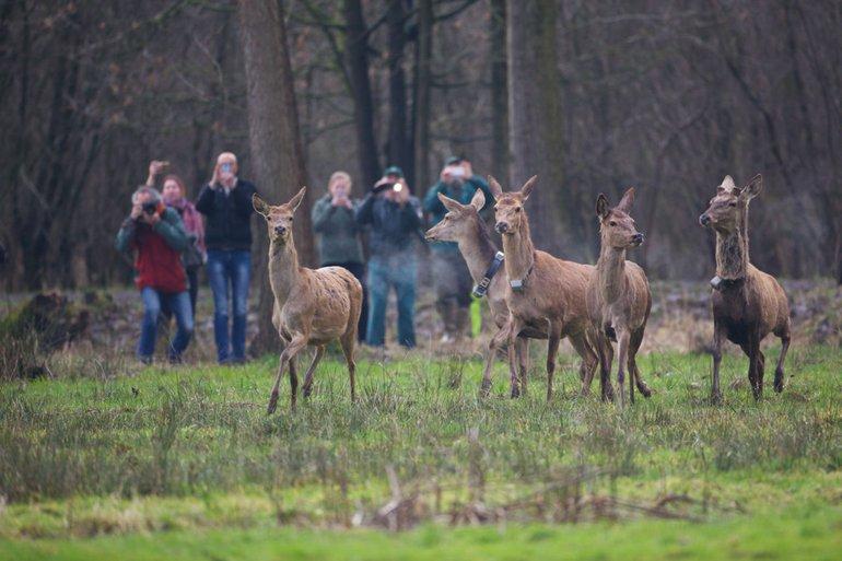 Het edelhert keert na meer dan 150 jaar afwezigheid terug naar Brabant