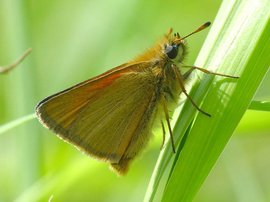 Thymelicus lineola. Zwartsprietdikkopje