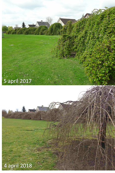 GrowApp-foto's van prunus op 5 april 2017 en 4 april 2018. Klik op de foto om de hele time-lapse video te bekijken