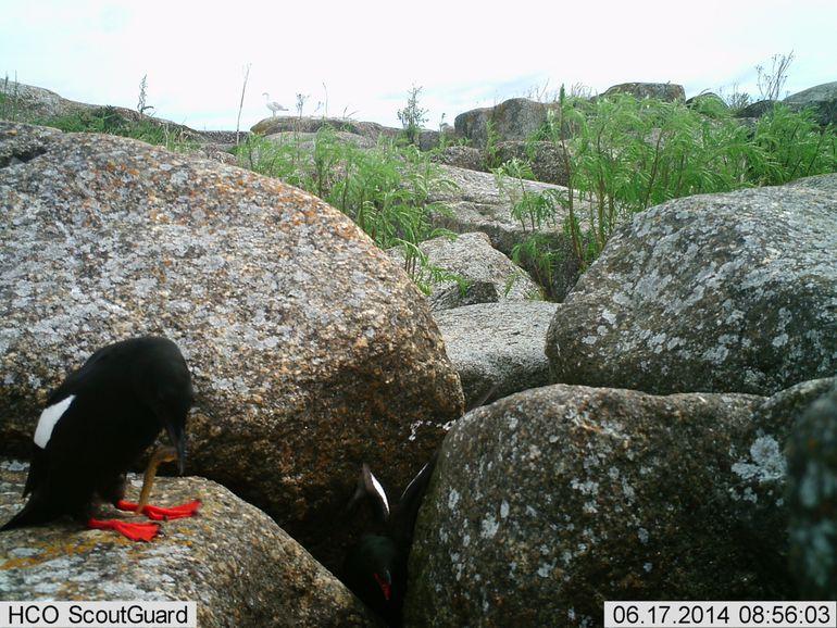 Een voorbeeld van een foto genomen door één van de cameravallen. Je ziet twee zwarte zeekoeten waarvan één het nest uit komt en de ander een botervis te pakken heeft, die vervolgens aan de jongen gevoerd wordt