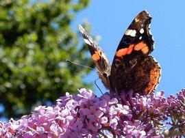 atalanta op vlinderstruik Buddleja