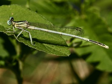 The White Featherleg (Platycnemis latipes) only occurs in Southwestern Europe
