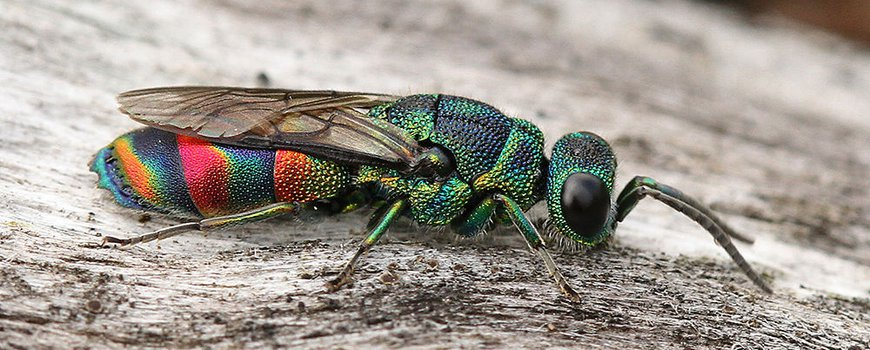 Chrysis equestris, photo by Maarten Jacobs