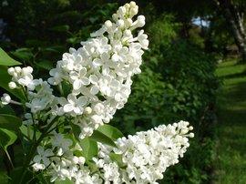 White lilac witte sering bloei