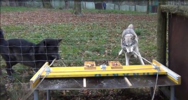 Wolf dyads show perfect teamwork, while two dogs hardly were able to co-operate.