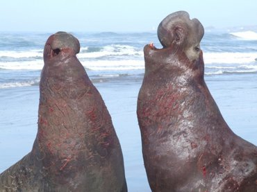 Two northern elephant seal males scuffling on the beach in San Mateo, California