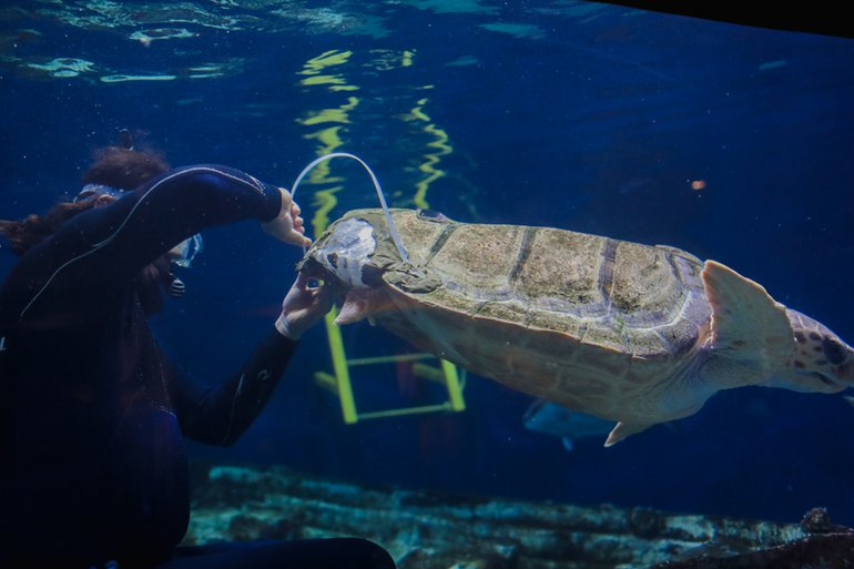 Birch Aquarium's loggerhead sea turtle is fitted with a 3-D Printed brace for her shell