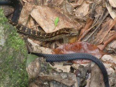 De red-bellied racer snake (Alsophis rufiventris) is only found on Saba and St. Eustatius.