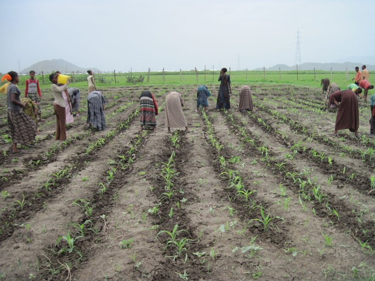 Ethiopian farmers, mostly women, working on sorghum fields