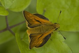 Thymelicus sylvestris. Geelsprietdikkopje, man