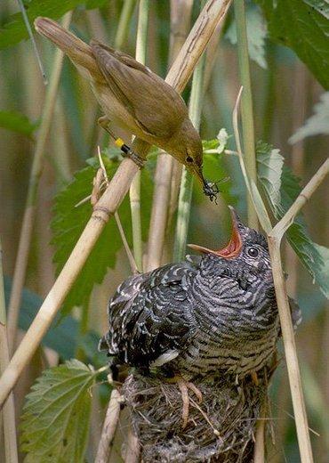Een koekoeksjong in het nest van een kleine karekiet die plichtsgetrouw blijft voeren
