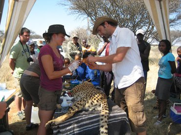 Fitting a GPS-collar and collecting blood from an immobilised cheetah in Namibia
