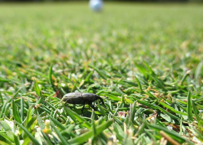 Grassprietkever op een golfbaan in Spanje