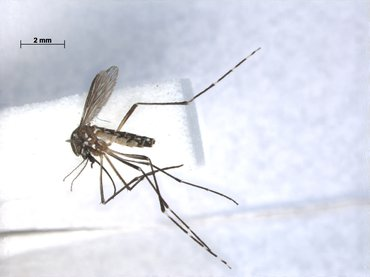 Yellow fever mosquito, one of the most common mosquito species on the islands