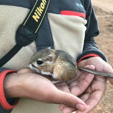 The San Quintin kangaroo rat