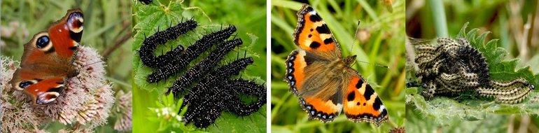 Vlinder en rupsen van dagpauwoog (links) en kleine vos (rechts)