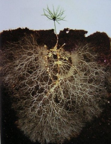 Mycorrhizal funghi (white threads) extend the root system (brown) of the plant and strengthen the capacity to absorb nutrients