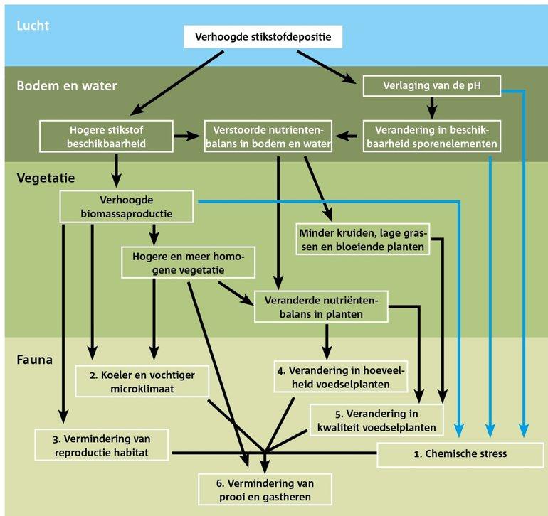 Routes waarlangs N-depositie directe effecten en indirecte effecten heeft op bodem en water en vervolgens op de vegetatie en fauna. De blauwe pijlen komen uitsluitend voor in aquatische systemen of in heel vochtige bodems. Andere routes kunnen voorkomen in zowel aquatische als terrestrische systemen. Naar een figuur van Marijn Nijssen