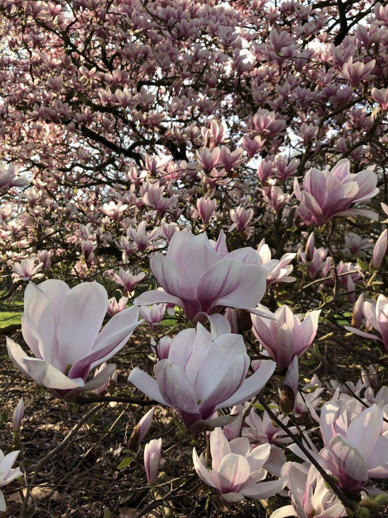 Magnolia in volle bloei