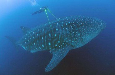 A whale shark near the Galapagos Islands being measured by a diver using laser photogrammetry