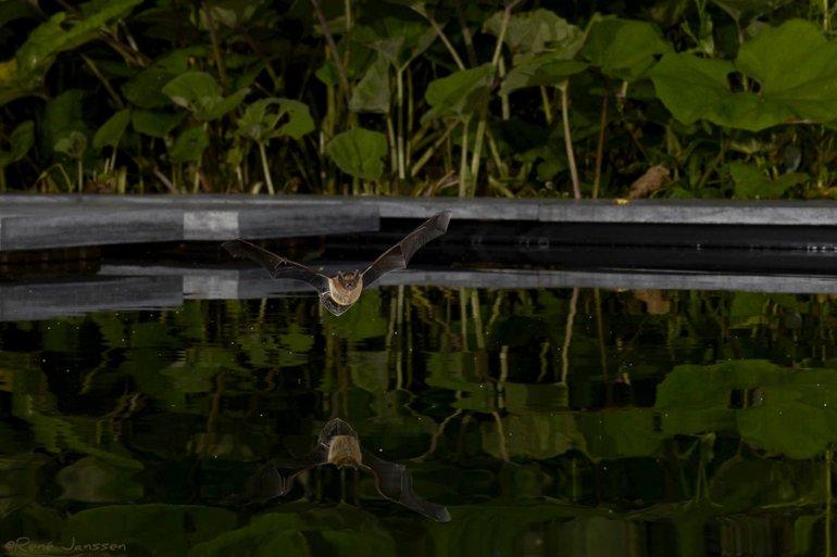 Vijvers kunnen van levensbelang zijn voor vleermuizen, hier dwergvleermuis