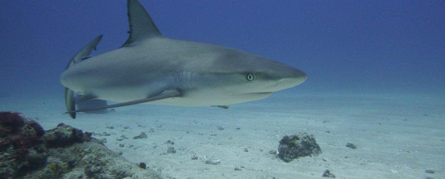 Nature Today | At least ten reef-associated shark species in