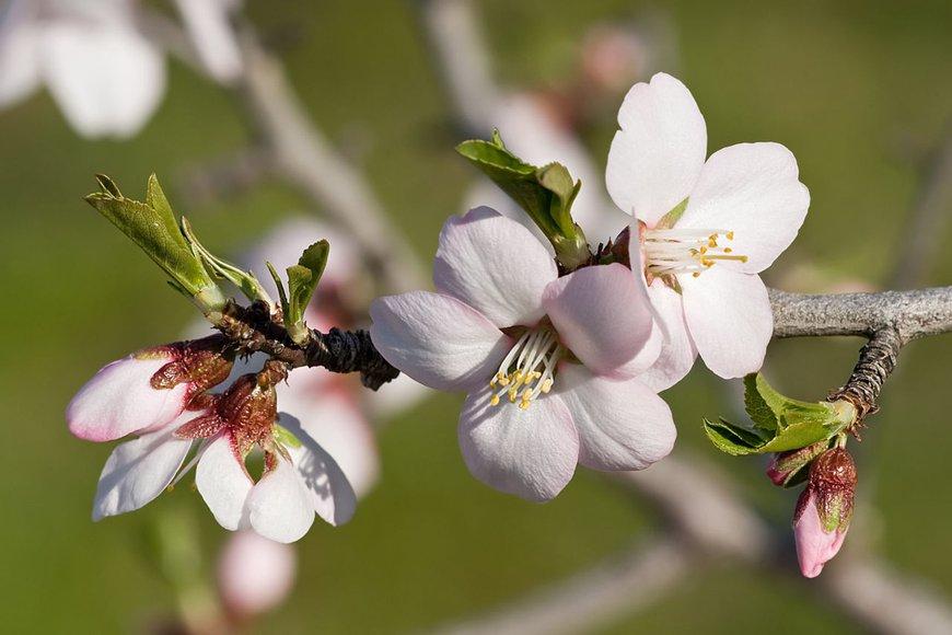 Almond, Amandel, Prunus dulcis