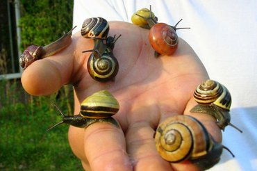 Variation in snails