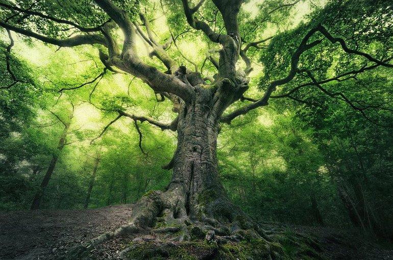Wordt de Bladelse heksenboom Boom van het Jaar?