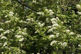 Prunus padus 8, Gewone vogelkers, Bird cherry flowering