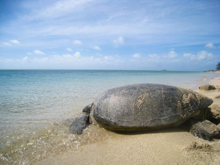 A green sea turtle returns to the water following examination by researchers