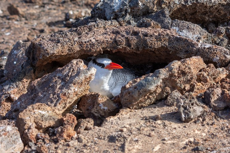 Nest of red-billed tropicbird at the Galápagos Islands