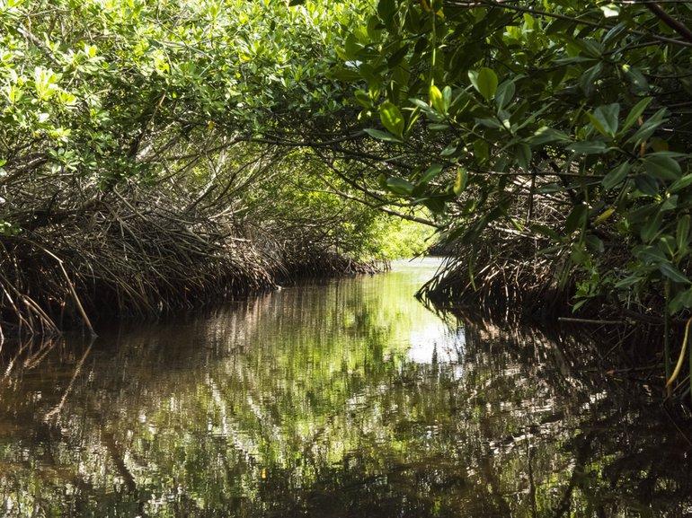 Mangroven bij Lac Bay, Bonaire