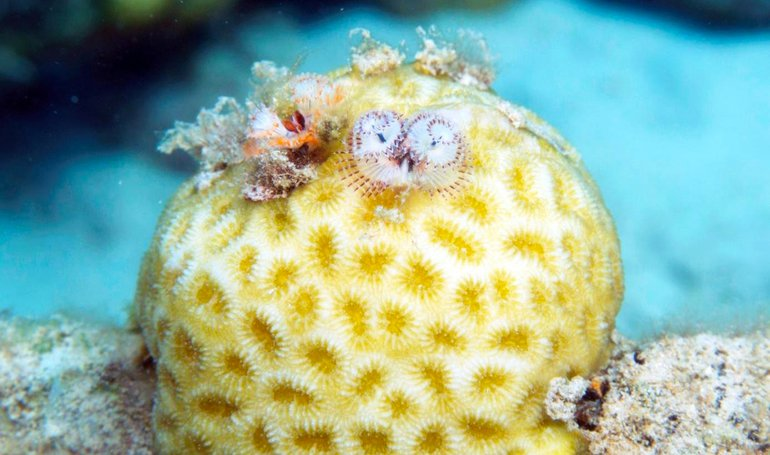 A newly discovered association of two small Christmas tree worms (Spirobranchus polycerus) on top of a golf ball coral (Favia fragum) on the reef flat of Bonaire in less than 2 m depth. Both species are common but have previously not been reported in symbiosis.
