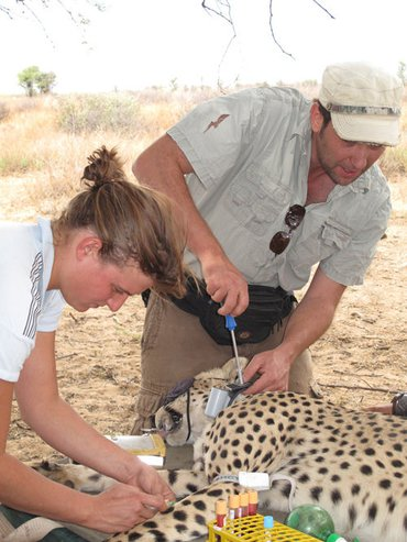 Researchers handling a cheetah