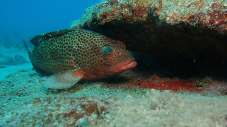 Rock hind (grouper) hiding within the layers of a layered cake reef