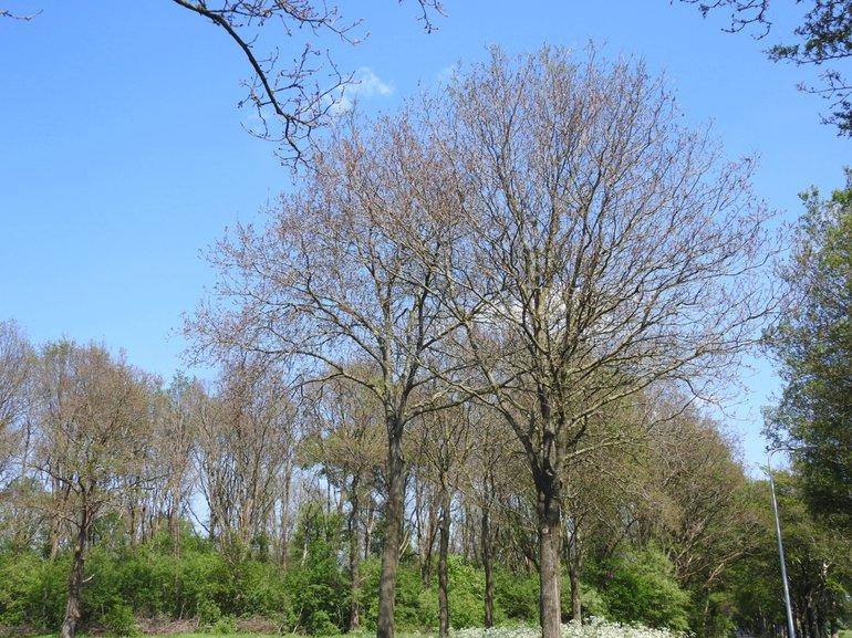 Massaal kaalgevreten eikenbomen