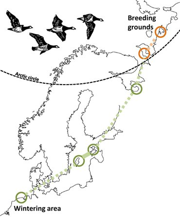 Wintering areas and breeding grounds of barnacle geese