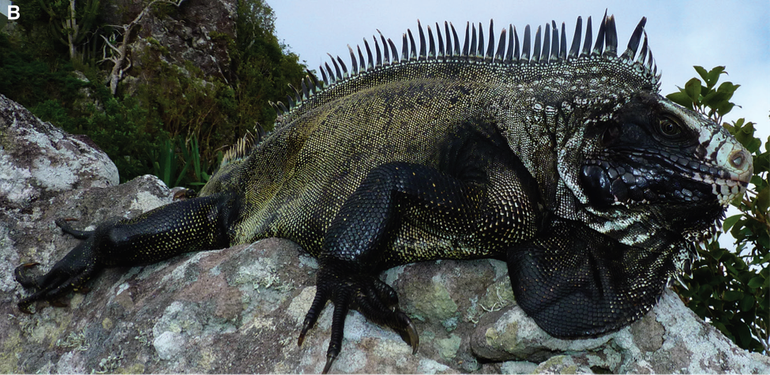 Old Painted Black Iguana from Saba