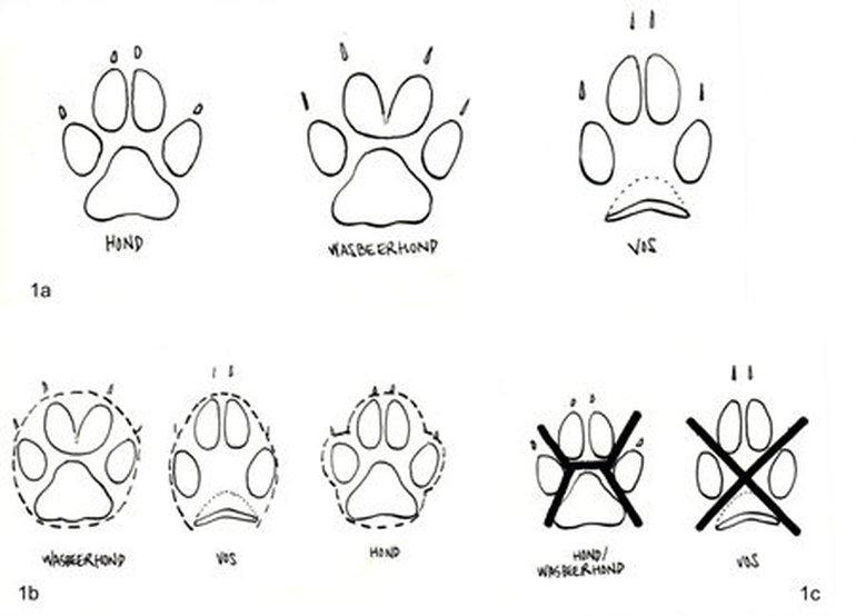 Afbeelding: 1a. Vereenvoudigde weergave van de prenten van vos, hond en wasbeerhond. 1b. Globale omtrekvorm prenten. 1c. Tussen de teenkussens en het middenvoetkussen kan bij een vos een X-vorm getekend worden, bij hond en wasbeerhond een H