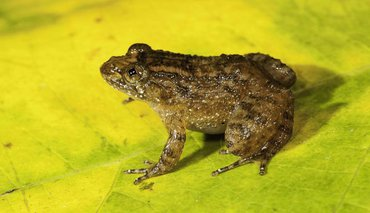 Athirappilly Night Frog (Nyctibatrachus athirappillyensis) was discovered from areas adjoining the Athirappilly waterfall, site for a proposed hydroelectric project.