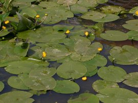 Nuphar lutea, Gele plomp, Yellow Water-lily