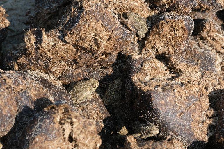 Vijf rugstreeppadden op konik-mest