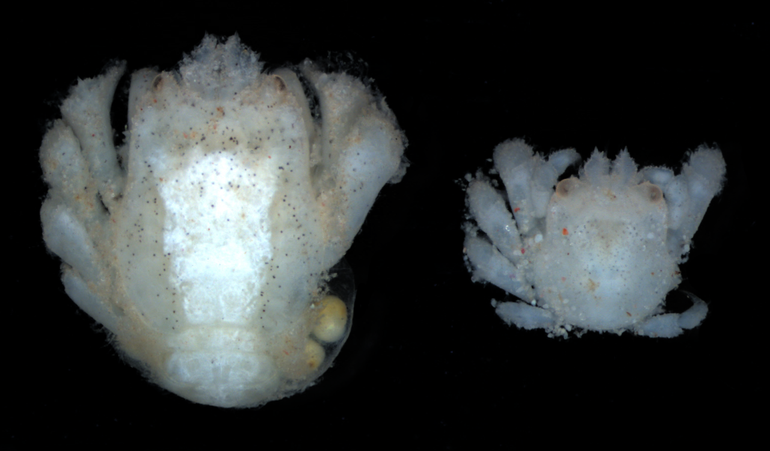 A female (left) and male (right) Opecarcinus hypostegus gall-crab