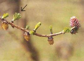 Larix decidua, Europese larix, European larch, bladontplooiing